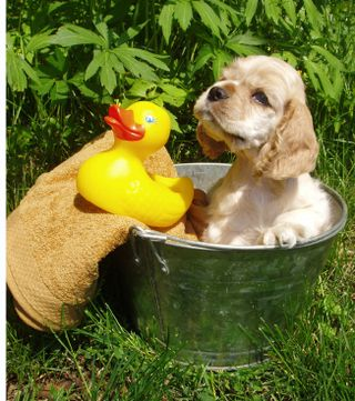 IStock-puppy_in_bucket-XSmall